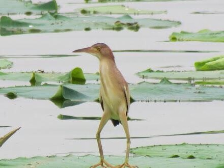 """无聊时你就看看这种怪鸟""""黄苇鳽"""",包你一秒被逗乐,堪称史上最丑的长腿欧巴..."""