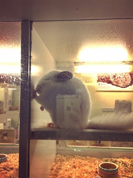 一只受日本文化熏陶苦练壁咚的小龙猫
