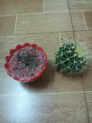 朋友几个星期前买的仙人球,辛辛苦苦的浇水,施肥,望其长大,但是。。。笑点在,,自己看图