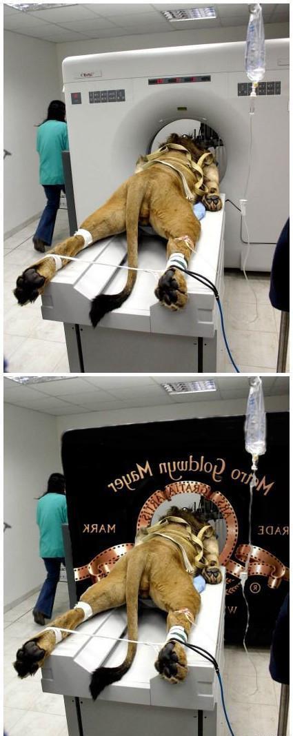 生病的狮子被恶搞了……