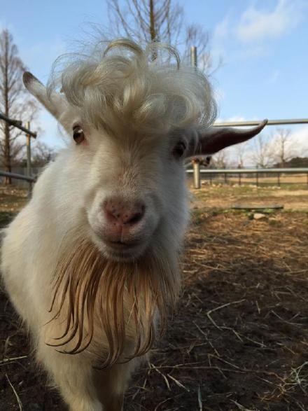 山口县野生动物园的一只1岁小公羊,不知为啥一夜之间成了男神发型!饲养员表示,园里没人帮他打理过,就自己长出如此潮流时尚的刘海了……我怎么感觉是偷偷找村口王师傅烫的