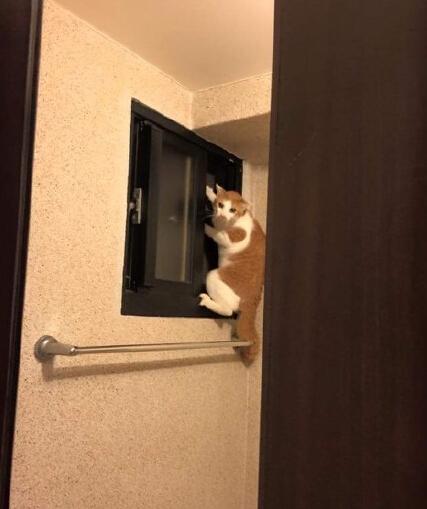 """湾湾微地震,有个网友被地震惊醒後,便马上跑到房外面找喵星人一起逃走,结果网友在厕所发现喵星人已经爬到窗子上面准备逃跑了。。。喵:""""奴才朕先走一步了,你好好保重~"""