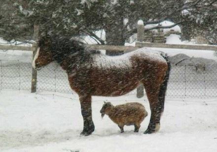牧场里有爱的一幕,一只马让一只小羊在自己身下躲雪~好有爱啊