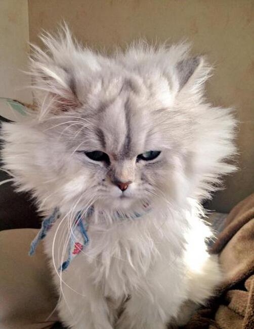 推主code_1217说他家的猫咪睡相超级差,差到什么地步呢?看它起床时的毛就知道了……哈哈哈哈哈哈哈哈哈对不起我实在憋不住哈哈哈哈哈哈哈到底是怎么睡的哈哈哈哈哈哈