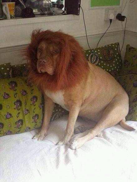 某土豪在网上购买了一头雄狮,大家说应不应该給个差评?