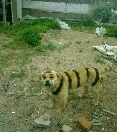 我托朋友在东北买了个东北虎,感觉哪里不对,我是不是又被骗了??