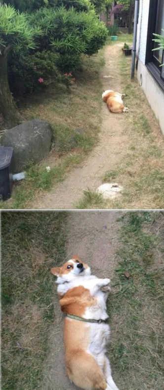 昨天,带家里的柯基去遛达遛达,它高兴得跑前面,结果绊脚摔倒了,躺在地上不动了……吓死我了。结果走近一看,它只是起不来了……一脸惊恐……起不来了…靠