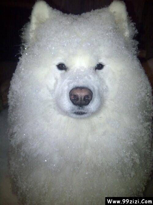 雪天遛狗的后果:牵出去时还是狗,牵回来就变成刨冰了