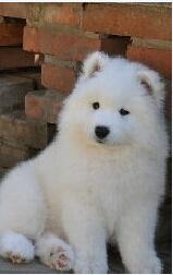 看着我家的狗,我笑了,跟狐狸一样。看那忧郁的小眼神。