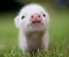 一天,你坐在客厅沙发上,有一只猪,屁颠屁颠,跑到你跟前,对你说了一句,长大后我就成了你。