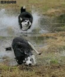 我是来自北方的一匹狼,奔跑在无边的旷野上,摔成了狗。