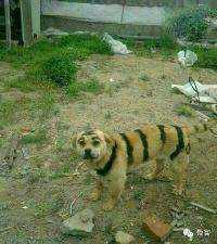 这东北虎是不是有些不对劲?~