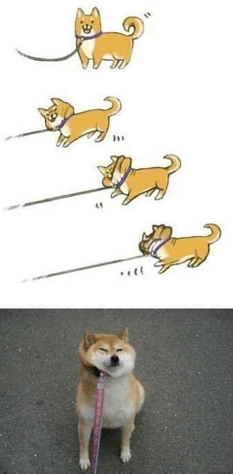 天然呆的日本秋田犬。