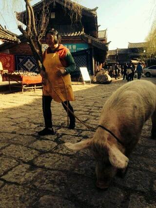 我在丽江束河玩,看到阿姨放猪,顿时觉得放狗放鸟放小孩都弱爆了。