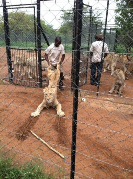 放开我, 我为部落出过力, 我要见狮座!!