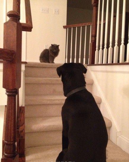 还敢再怂一点吗 一网友表示:家里的狗体重是猫的五倍,但是每当这种情况 汪只敢窝在楼梯下面哼哼唧唧地埋怨……他不敢过去…… 因为……家里猫不让他走这儿过……