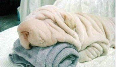 此狗已被误投洗衣机里N次了,据说已经笑看生死了。。。