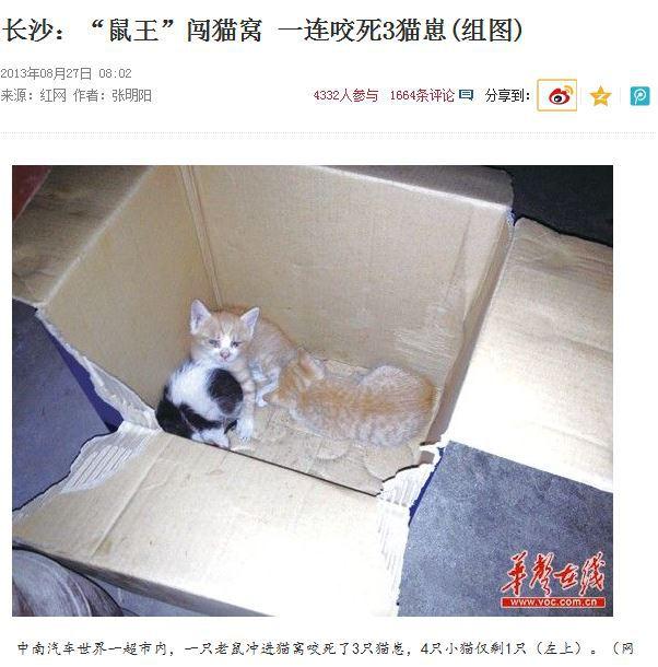 """【长沙:""""鼠王""""闯猫窝 一连咬死3猫崽(组图)】范先生家住中南汽车世界Q栋,楼下的小超市里养了一只黄白色的花猫。大约十几天前,花猫生了4只猫崽。8月23日下午,一只老鼠冲进猫窝咬死了三只小猫。范先生说,三只猫崽可能死于一场""""江湖恩怨"""""""