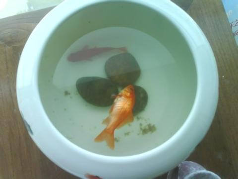 家里的鱼死了浮出水面,我大叫到;爸爸浮上来了!