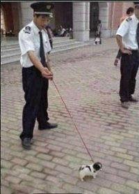 单位给保安配的军犬。 听说疯起来两三个人都拉不住