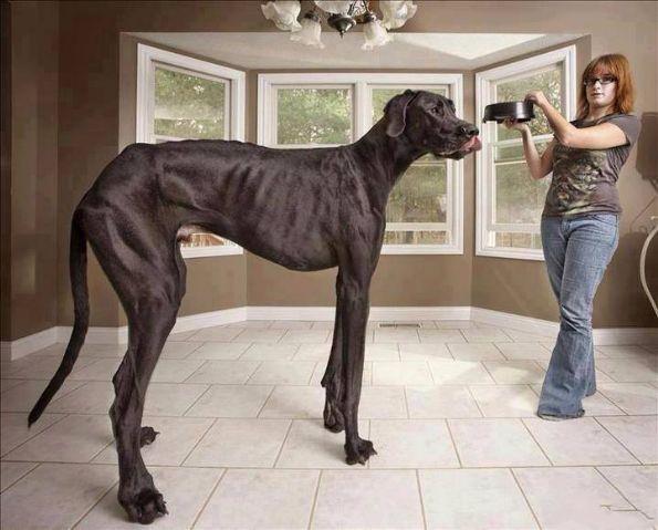 据说是吉尼斯认定的世界最大的狗,吓银!