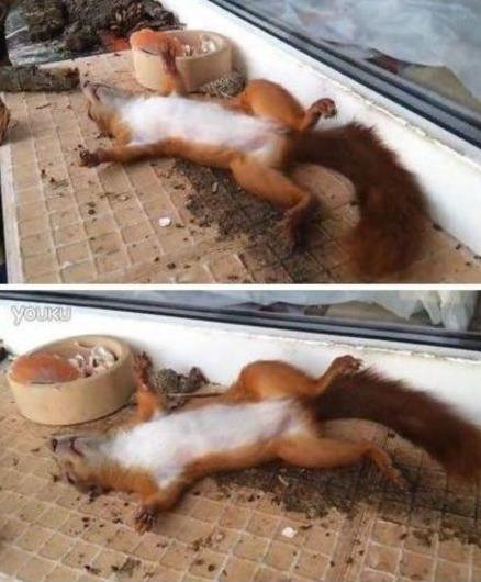 一俄罗斯男子为阻挡松鼠到家中偷吃核桃,故意在窗口放了一碗伏特加酒。隔天发现一只四脚朝天的松鼠醉倒在一旁,呼呼大睡。。。