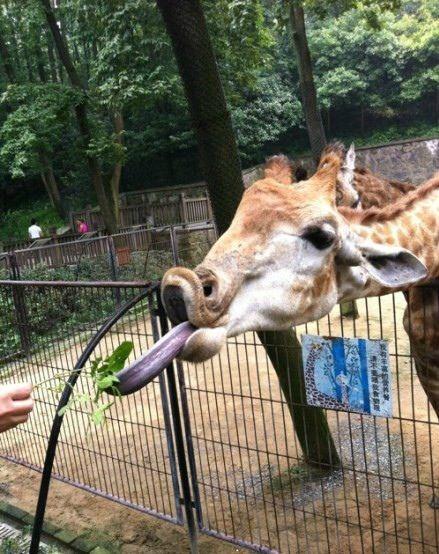 卖的一手好萌的长颈鹿。。。