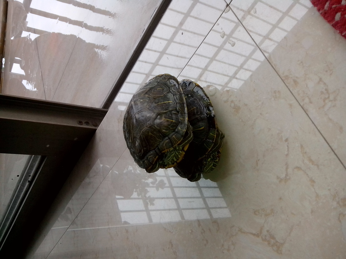 话说这两只乌龟是公的。。。我和我的小伙伴们都惊呆了。