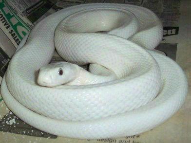 这蛇很少件哈哈求过T_T