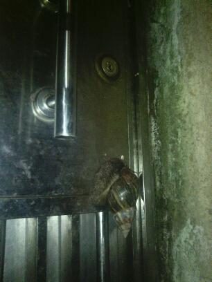 小哥我吃完夜宵回家开门,这蜗牛吓得我差点失声尖叫,你说你爬我门上干嘛呢?难道是传说中的蜗牛姑娘给我做饭了  -_-!