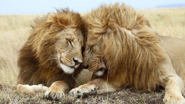 狮子原来也玩gay