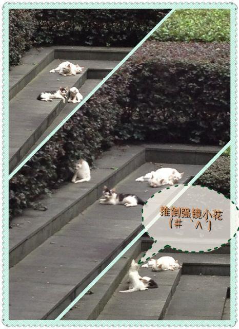 每次给四只小喵拍照^_^小花都会很配合的转过头来呢ヾ(@⌒ー⌒@)ノ 最终他被小白推倒了(゚O゚)\(- -; 叫你抢镜!!