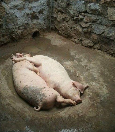 多么惬意的两只猪啊