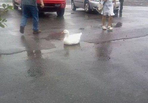 一只很容易满足的鸭子