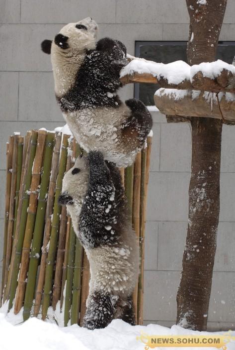 顶住啊 ! 我上去偷竹子