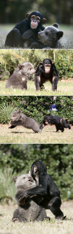 在美国南卡罗来纳州的一家动物园,饲养员将一只小灰熊和一只小黑猩猩放在一起,看它们能不能发展出友谊,小黑猩猩脑子很好使,会向小灰熊扔东西,结果俩打打闹闹,蹦蹦跳跳,成了无法分开的好朋友。