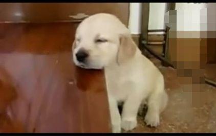 睡不醒的狗狗,困得连眼睛都睁不开,又何必还要站着呢?站就站吧,可你又为嘛把头放在桌子上呢? 这样到底何必呢?