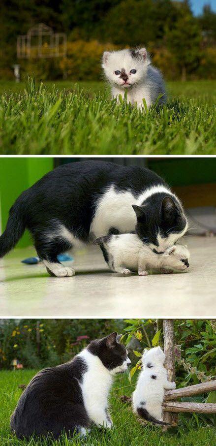 猫的父爱:美国一只叫做jack的天生失明的奶牛猫。在自家的后院里发现了一只走失的小猫。他决定担负起父母的责任,把走失的小猫抚养起来。jack虽然看不见,但是总是寸步不离的守护在孩子的旁边,伴随着它一起长大。