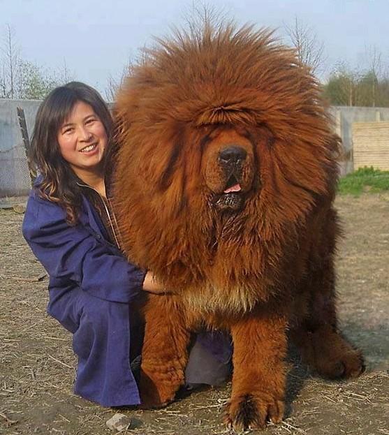 狮子/狗/熊 - 藏族Masstiff。。。。这货到底是什么?