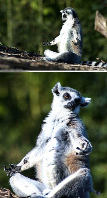 这才叫淡定,比利时摄影师在一片丛林中发现了这只特别的狐猴,一再接近也未能打扰到它,双腿盘坐,完全沉浸在自己的世界中,对外界发生的一切毫不理会啊。