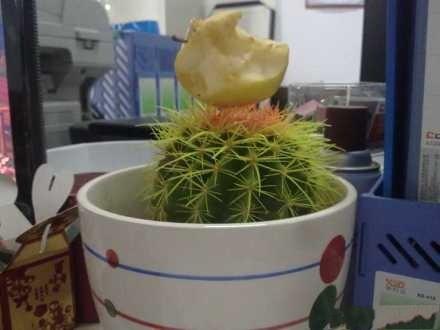 我同事经常往我的仙人球上插东西!!!葡萄皮什么的!!这是他咬过的苹果!!!二货呀!!球都歪了!!!