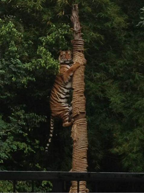 这个世界太疯狂啦,老虎都能上树啦!