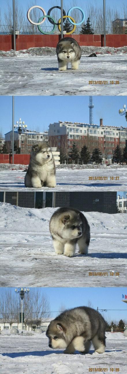 好富态的阿拉斯加雪橇犬~!说,你们家和北极熊是什么关系?!