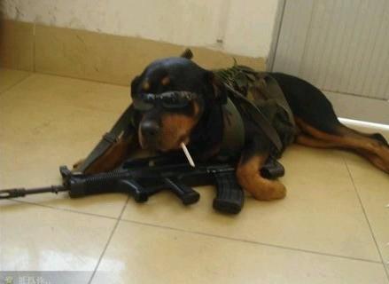 军队里的狗狗就是不一样,有不有