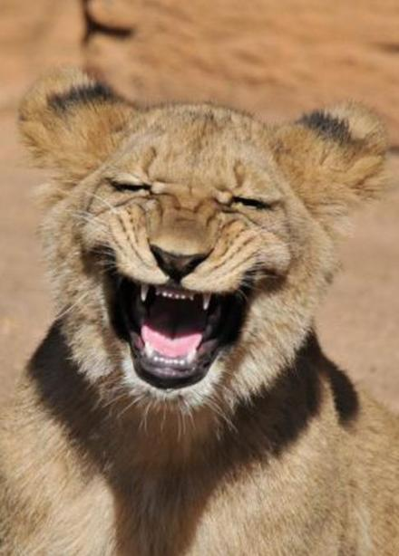 看着这只笑裂的狮子我也笑裂了。。捶桌!