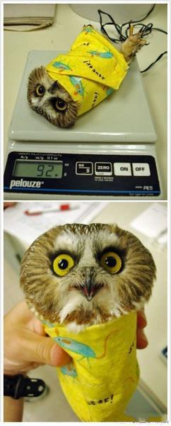 这是一只最近在明尼苏达大学猛禽中心接受治疗的北锯磨猫头鹰,为了能更好的测量这位好动伤员的体重,救助人员只能把这货包成这样上秤了。天然萌哦!