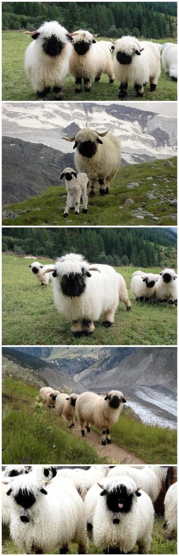 【瓦莱黑鼻羊:我擦嘞怎么能这么萌】瓦莱黑鼻羊(Valais Blacknose),是瑞士瓦莱地区培育出来的一种绵羊: 我擦嘞萌成这样还需要描述吗!大人,您这身白衣裳哪买的?大人,你的月亮哪去了大人?「转」