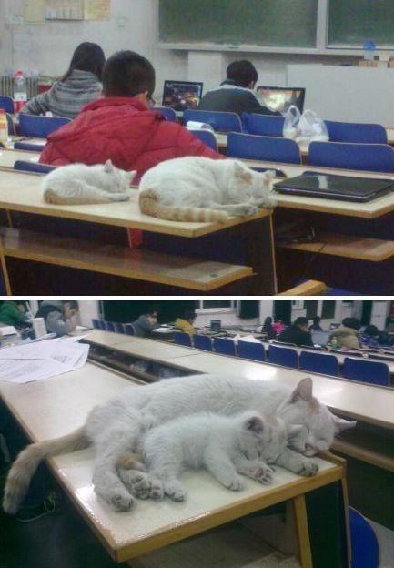 """【大学自习室超萌贪睡母女猫走红】北京化工大学的自习室总有一对超萌可爱的母女猫凑热闹,常年霸占自习室和教室。这两张照片迅速引发了网友的转发潮,网友大呼:""""太口(可)爱了!""""也有化工大学自己的学子感慨:""""岁月是把杀猪刀啊!都带着娃了!哥还是单身。"""""""