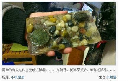 同学的乌龟放在阳台被冻住了!!关键是,把冰掰开后,那龟还活着。。。