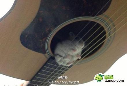 家里的仓鼠掉进吉他里面了。。。